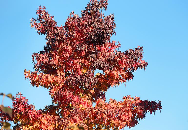 Amerikanischen-Amberbaum.png