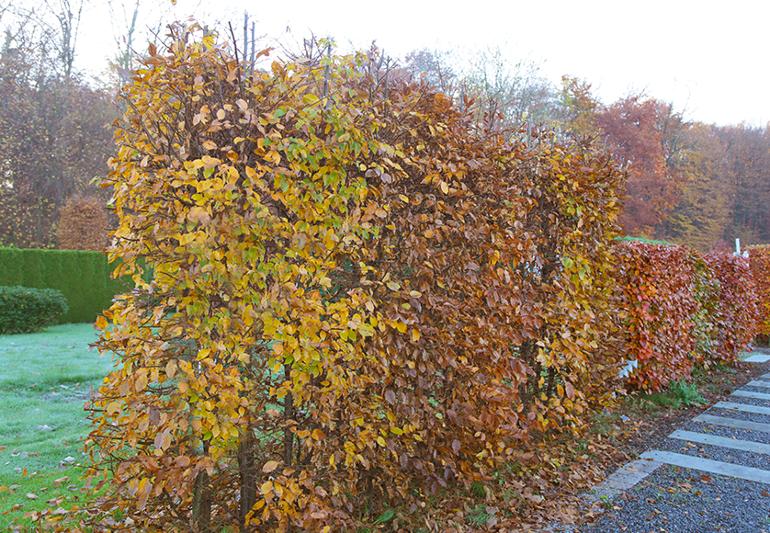 Heckenansicht-Hainbuche.png